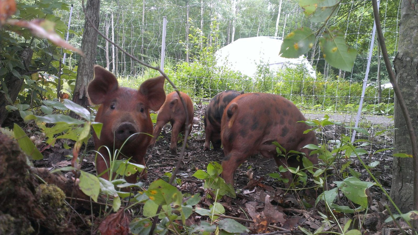 Forest Pigs + Dome